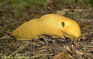03 banana slug Prairie Ck 01