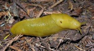 banana-slug-1-large